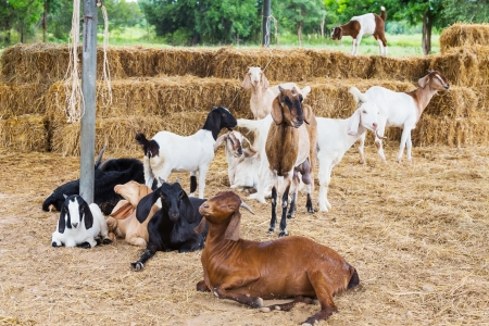 Group of goats in livestock farm from central of Thailand photo