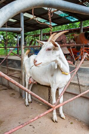 Female goat ready for milking in farm from central of Thailand photo