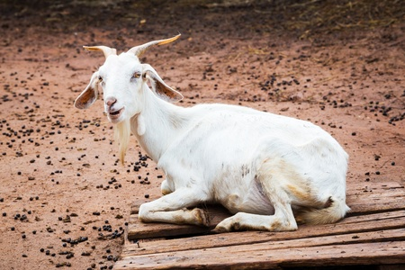 White color goat lying on wood pallet in farm from central of Thailand photo
