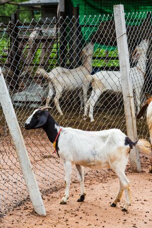 Goat standing on ground near wire mesh in farm from central of Thailand photo