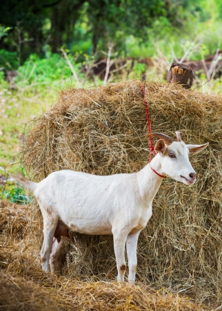 Female goat in farm with dry pangola grass photo