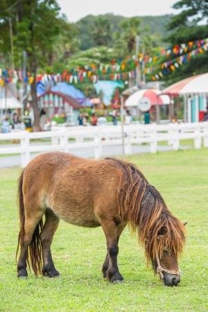 Little nag horse eating grass on field in farm photo