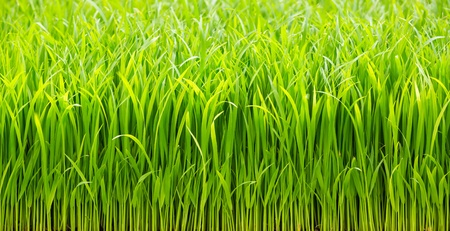 Close up green color rice sprouts background photo