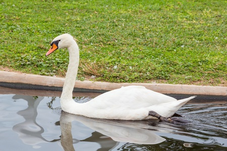 Close up white swan swimming in pond photo