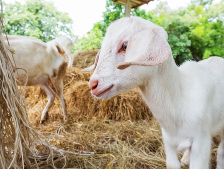 Close up young goat in farm fron central of Thailand photo