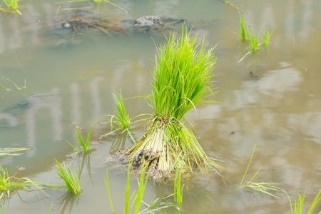 Close up rice seedlings in field from central of Thailand photo