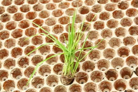 Close up rice seedlings in nursery tray Stock Photo - 22075907