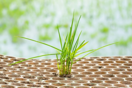 Close up rice seedlings in nursery tray photo