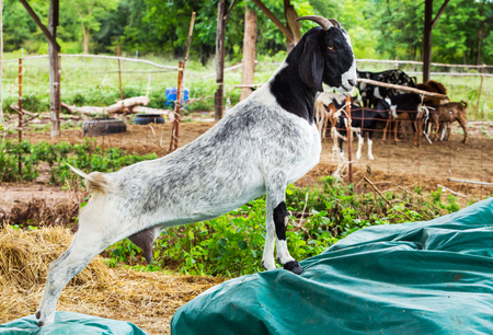 Close up goat in farm from central of Thailand photo