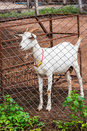 Close up white goat in farm from central of Thailand photo