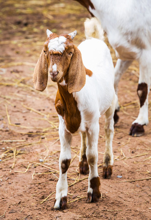 Close up young goat in farm from central of Thailand photo