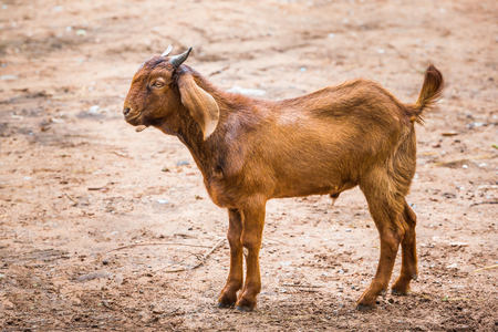 Close up brown goat in farm from central of Thailand photo