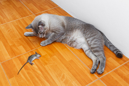 Close up of cat kill rat or mouse on ceramic floor tiles  photo