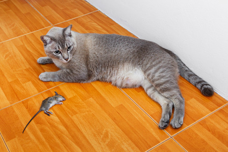 dead rat: Close up of cat kill rat or mouse on ceramic floor tiles  Stock Photo