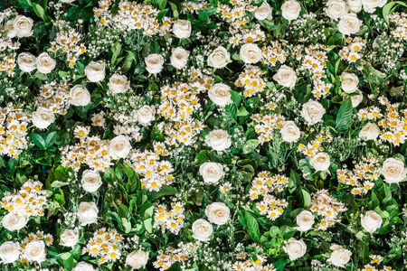 Close up white rose and chrysanthemum with green leaf background photo