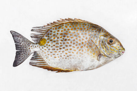 rabbitfish: Close up Golden spinefoot or Orange-spotted spinefoot fish on white wet cloth in market with morning sunlight Stock Photo