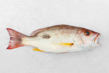 Close up Russells snapper or Moses perch fish on white wet cloth in market with morning sunlight