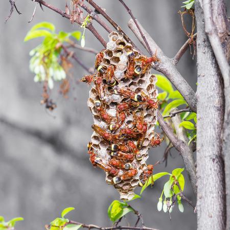 apocrita: Close up Thai hymenoptera and wasps nest on wrightia religiosa benth tree