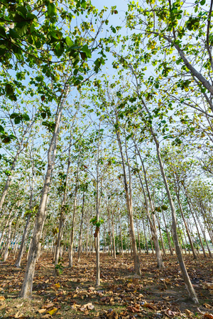Teak wood plantation in eastern of Thailand photo