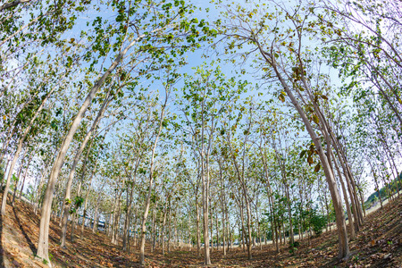 Teak wood plantation in eastern of Thailand photo