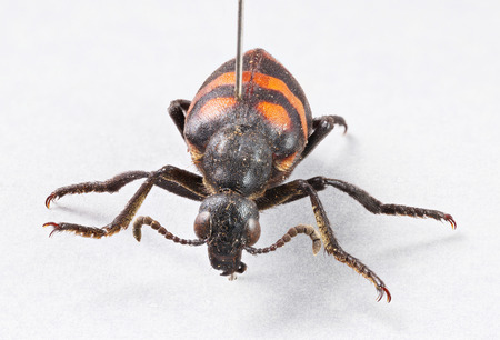 stodio: Close up died blister beetles - mylabris phalerata with insect entomology pins on gray paper - stacked photo - deep focus image