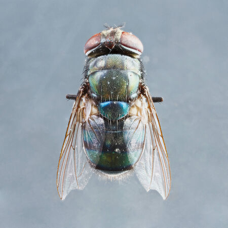 deep focus: Extreme close up dirty died chrysomya species fly isolated on gray background -  stacked photo - deep focus image