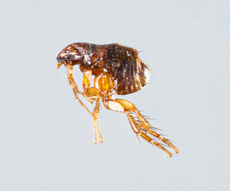 Close up female ctenocephalides felis or cat flea isolated on gray background
