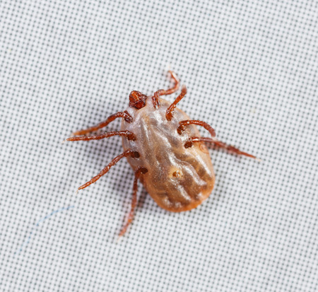 bloodsucker: Close up female rhipicephalus sanguineus on recycle paper background