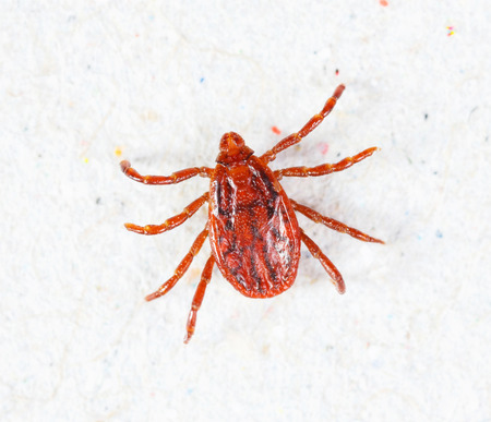 bloodsucker: Close up male rhipicephalus sanguineus on recycle paper background