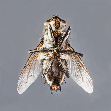 deep focus: Extreme close up dirty died sarcophaga species fly isolated on gray background - stacked photo - deep focus image