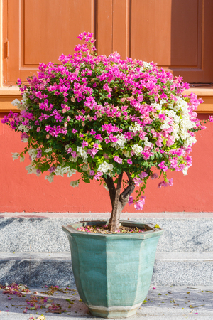 Close up pink and white color bougainvillea spectabilis in ceramic pot on dirty floor photo