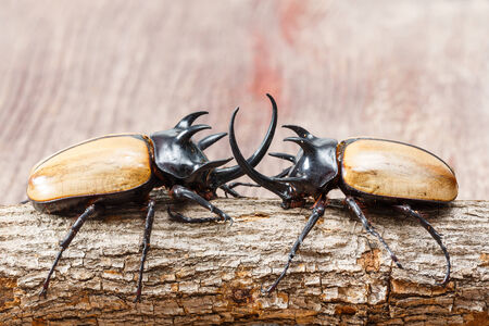 Close up yellow five horned beetle with small log on wooden table photo