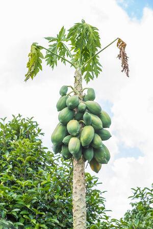 diseased: Close up dying diseased papaya tree in garden