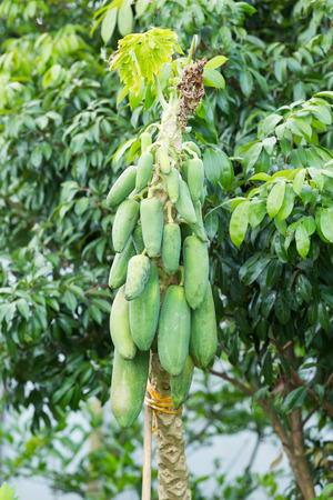 dying: Close up dying diseased papaya tree in garden