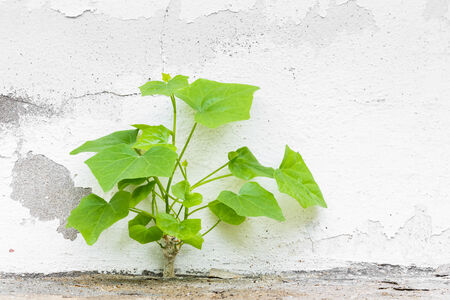 Close up ivy gourd plant beside old and dirty concrete wall photo