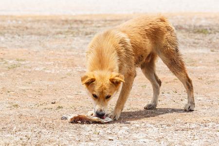 perro comiendo: Cierre de perro vagabundo sucio comiendo el hueso en la tierra