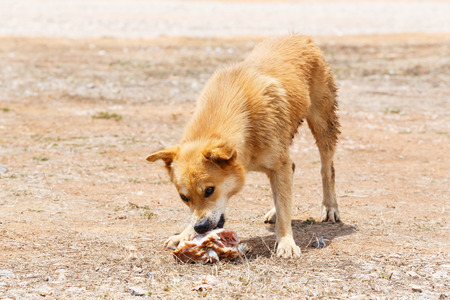 destitute: Close up dirty stray dog try to hold the bone in mouth