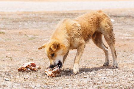 Close up dirty stray dog try to hold the bone in mouth
