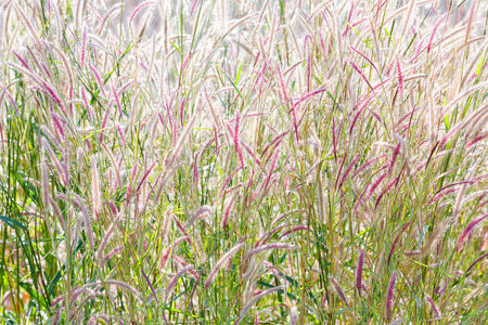 Close up fountain grass against sunlight in field photo