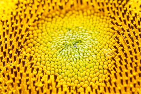 extreme close up: Extreme close up sunflower flower pollen detail Stock Photo