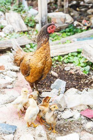 Close up Thai native chicken with chick in countryside photo
