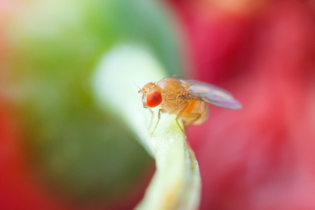 Close up new born fruit fly in studio Stock fotó