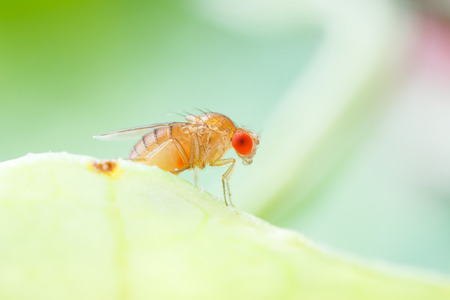 Close up new born fruit fly in studio photo