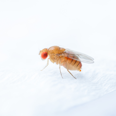 Close up new born fruit fly in studio 免版税图像