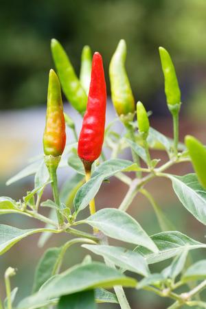 Close up Thai bird chili in garden, harvest, plantation photo