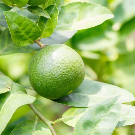 Close up green color organic lime citrus fruit on tree photo