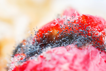 rotten fruit: Close up mold fungus growing on rotten ivy gourd fruit Stock Photo