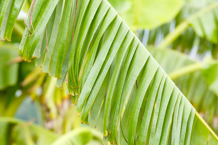 strong wind: Damaged banana leaf from strong wind Stock Photo