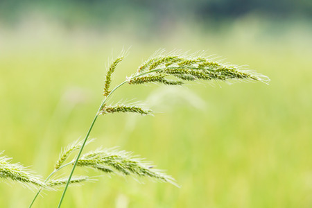 barnyard: barnyard grass or echinochloa colona in paddy field Stock Photo