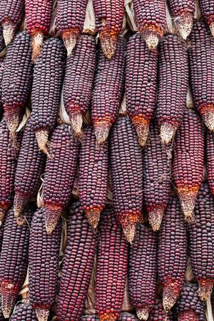waxy: Dried purple waxy corn texture background in farm